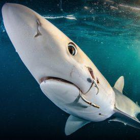 shark hook 6