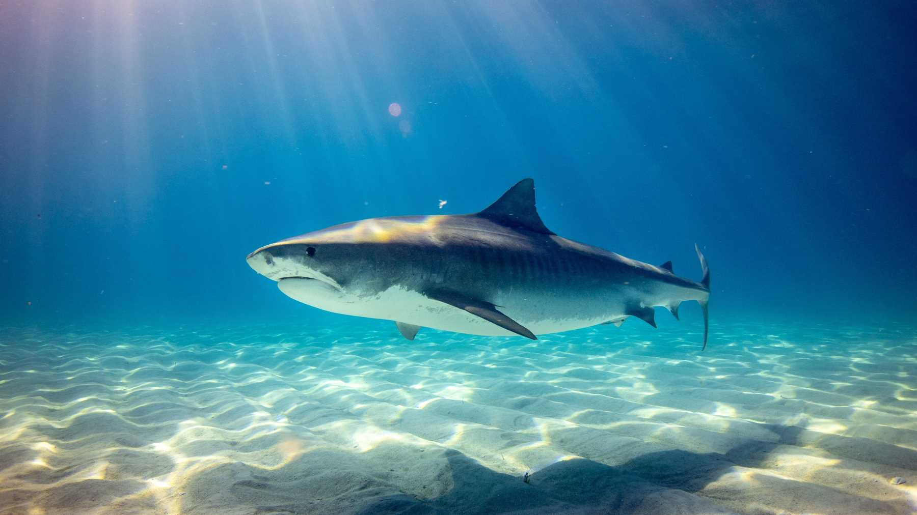 The best shark species to research – Shark Research Unit – Blue Wilderness